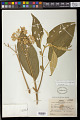View Solanum granuloso-leprosum Dunal digital asset number 0