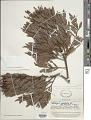 View Dacrycarpus imbricatus var. patulus de Laub. digital asset number 1