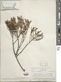 View Dacrycarpus imbricatus (Blume) de Laub. digital asset number 1