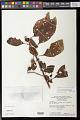 View Solanum leucocarpon Dunal digital asset number 0