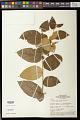 View Solanum schlechtendalianum Walp. digital asset number 0