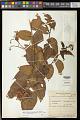 View Cyphomandra corymbiflora subsp. mortoniana (L.B. Sm. & Downs) Bohs digital asset number 0