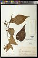 View Cyphomandra corymbiflora subsp. corymbiflora digital asset number 0