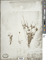 View Scirpus lateriflorus J.F. Gmel. digital asset number 1