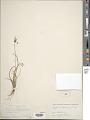 View Cyperus eragrostis Lam. digital asset number 1