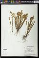 View Microlicia castrata Naudin digital asset number 0