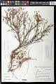 View Cambessedesia fasciculata (Spreng.) Fidanza & A.B. Martins digital asset number 0