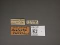 View Acalypta cooleyi Drake, 1917 digital asset number 1