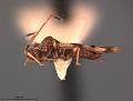 View Cysteochila idonea Drake, 1956 digital asset number 2