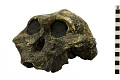 View KNM-ER 406, Fossil Hominid digital asset number 0