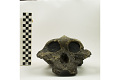 View KNM-ER 406, Fossil Hominid digital asset number 1