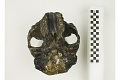 View KNM-ER 406, Fossil Hominid digital asset number 6