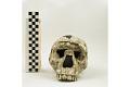 View KNM-WT 15000A, KNM-WT 15000, Turkana Boy, Human Fossil digital asset number 1