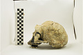 View KNM-ER 3733, Early Human, Fossil Hominid digital asset number 3