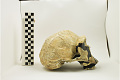 View KNM-ER 3733, Early Human, Fossil Hominid digital asset number 4