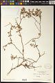 View Euphorbia tomentulosa S. Watson digital asset number 1