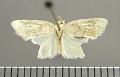 View Disoidemata nicephora Schaus, 1924 digital asset number 1