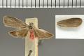 View Lycomorphodes genificans Dyar, 1914 digital asset number 1