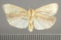 View Macroptila monstralis Schaus, 1911 digital asset number 4