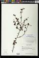 View Rochefortia acanthophora (DC.) Griseb. digital asset number 0