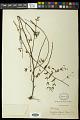 View Euphorbia lasiocarpa Klotzsch digital asset number 1