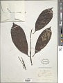 View Pausinystalia brachythyrsa (K. Schum.) De Wild. digital asset number 1