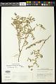 View Euphorbia berteroana Balb. digital asset number 1