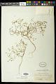 View Euphorbia revoluta Engelm. in Emory digital asset number 1