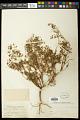 View Euphorbia missurica Raf. digital asset number 1
