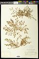 View Euphorbia glyptosperma Engelm. digital asset number 1