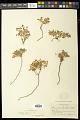View Euphorbia fendleri Torr. & A. Gray digital asset number 1