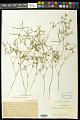 View Euphorbia florida Engelm. in Emory digital asset number 1