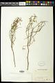 View Euphorbia angusta Engelm. in Emory digital asset number 1