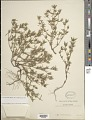 View Crusea diversifolia (Kunth) W.R. Anderson digital asset number 1