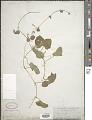 View Cucumis melo L. digital asset number 1