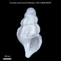 View Kurtziella cerina (Kurtz & Stimpson, 1851) digital asset number 0