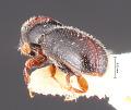 View Pseudopityophthorus gracilus digital asset number 4