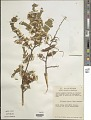 View Dalbergia glabra (Mill.) Standl. digital asset number 1