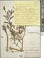 View Reichelia palustris Blanco digital asset number 1