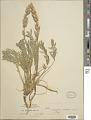 View Oxytropis sericea Nutt. var. sericea digital asset number 1
