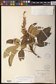 View Aesculus californica (Spach) Nutt. digital asset number 1
