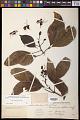 View Billia hippocastanum digital asset number 1