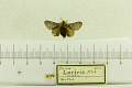 View Planosa laricis Fitch, 1856 digital asset number 1