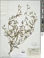 View Goodenia pilosa (R. Br.) Carolin digital asset number 1