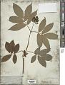 View Sambucus racemosa L. digital asset number 1
