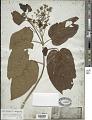 View Premna taitensis var. marcgionica F. Br. digital asset number 1
