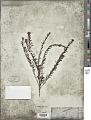 View Hemigenia purpurea R. Br. digital asset number 1