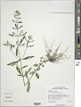 View Scutellaria integrifolia L. digital asset number 2