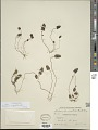 View Pogogyne serpylloides (Torr.) A. Gray digital asset number 1