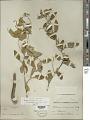 View Solanum tridynamum Dunal digital asset number 1